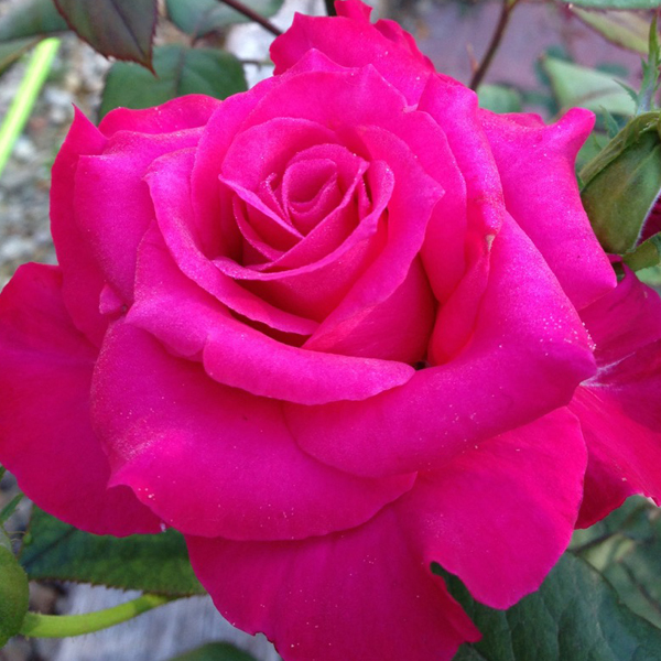 Pretty Lady Rose | Hybrid Tea