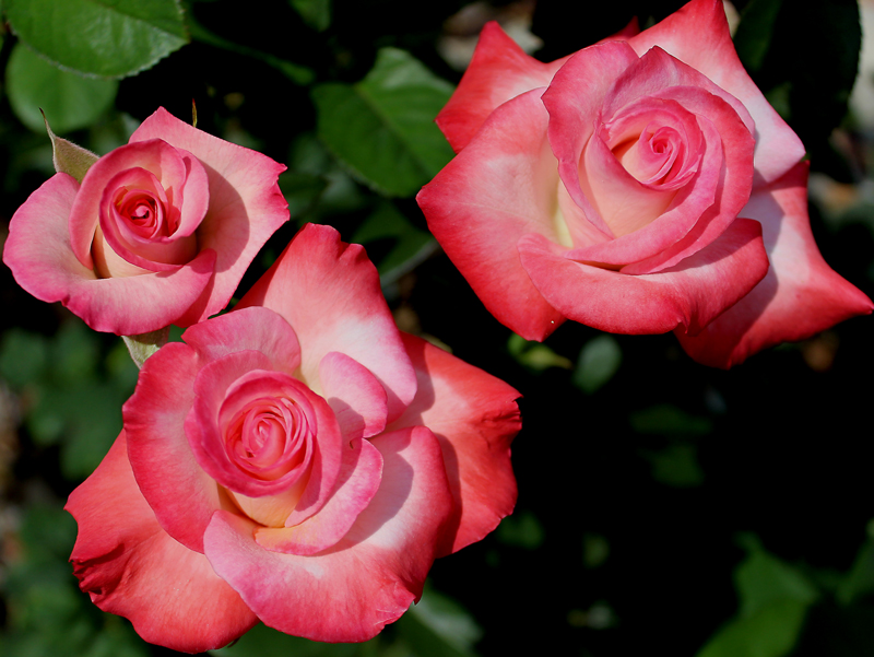 Pink blend Hybrid Tea. Registration name: JACnepal Exhibition name: Gemini Bred by Dr. Keith W. Zary (United States, 1991). Introduced in United States by Bear Creek Gardens, Inc. in 1999 as 'Gemini'.