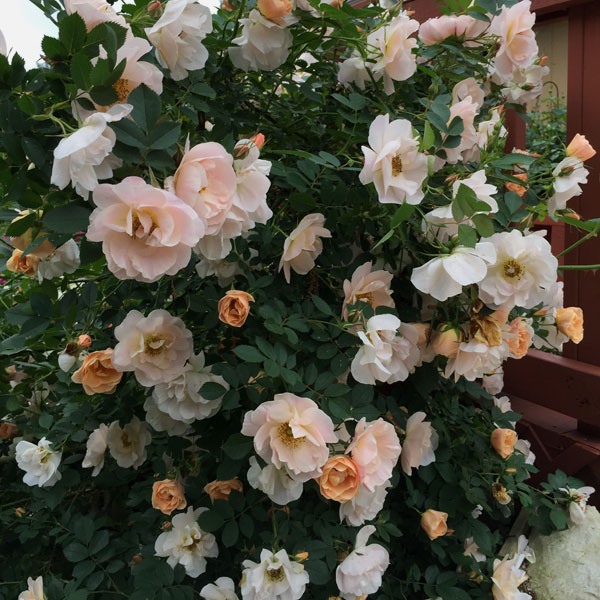 'Above and Beyond' Roses in Bloom in the Rose Garden