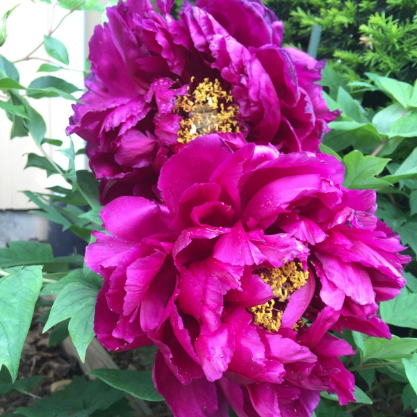 'Black Dragon' Peony Blooms