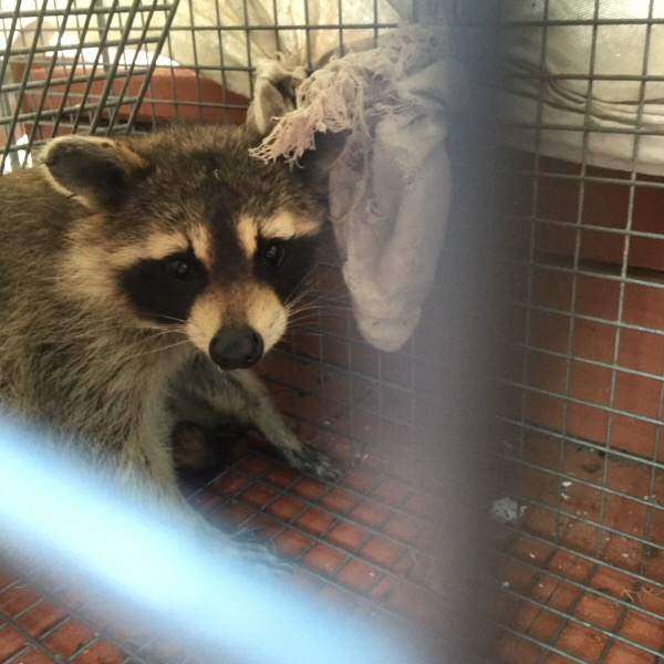 Rosey Racoon Captured in a Safe Capture & Release Cage