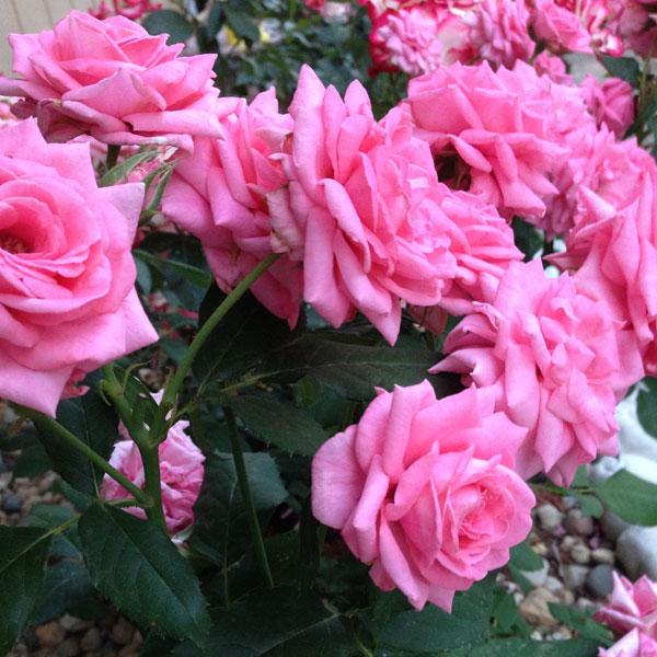 'Gene Boerner' a floribunda rose named for the man that worked his entire life for Jackson & Perkins 'aka' as 'Papa Floribunda', he hybridized more than 60 roses.