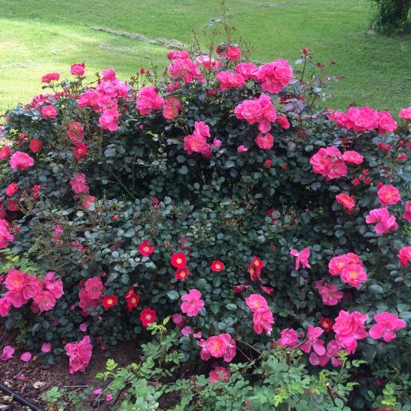 A Garland of 'Pink Cupcake' Surrounding 'Cherry Pie'