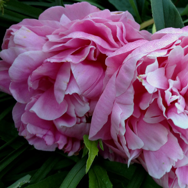 Pink Peonies in Illinois