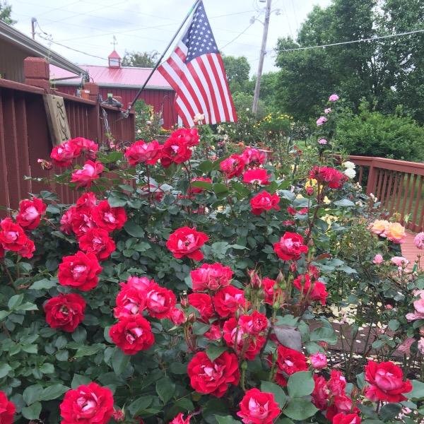'Take It Easy' blooming on Memorial Day Week-End 2016