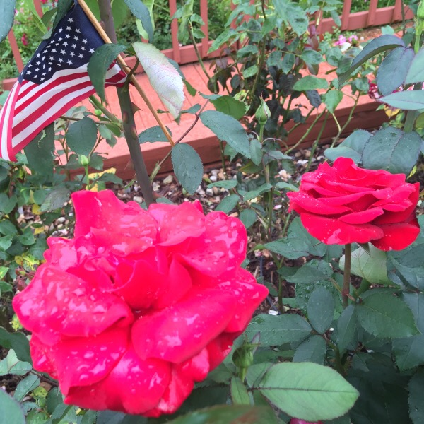 'Veterans Honor' Blooming on Memorial Day Week-End 2016