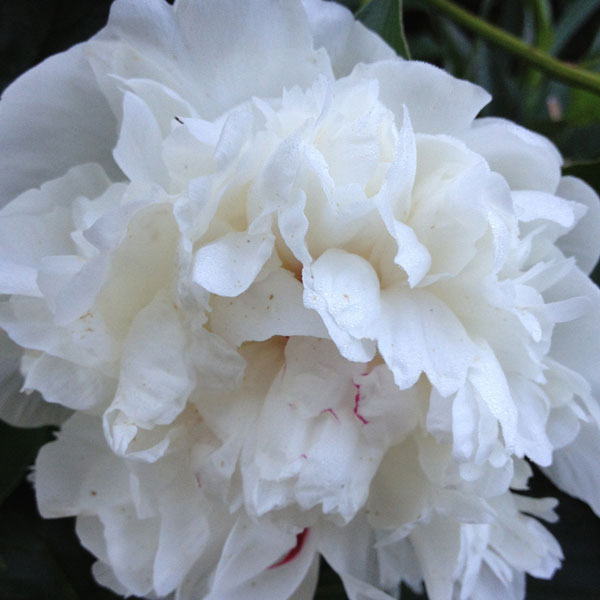White Peony Found in The Secret Garden