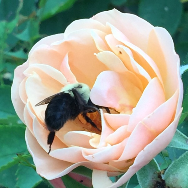 'Above and Beyond' Today With a Bumble Bee   Roses Are Pollinator Attractants