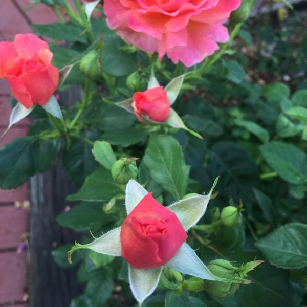 Rose Buds of 'Easy Does It' Floribunda