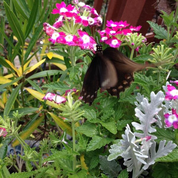 Eastern Tiger Swallowtail Butterfly Pollinator on Lantana & Silver Mound