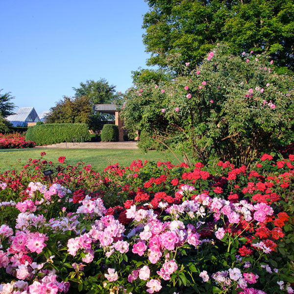 The Krasburg Rose Garden   Chicago Botanic Gardens