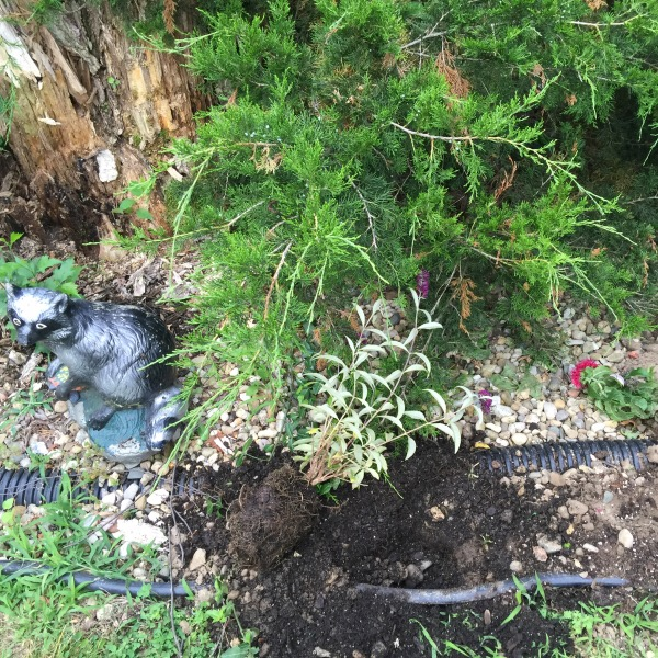 Raccoon Statue Next To Plants Ripped Up By A Raccoon