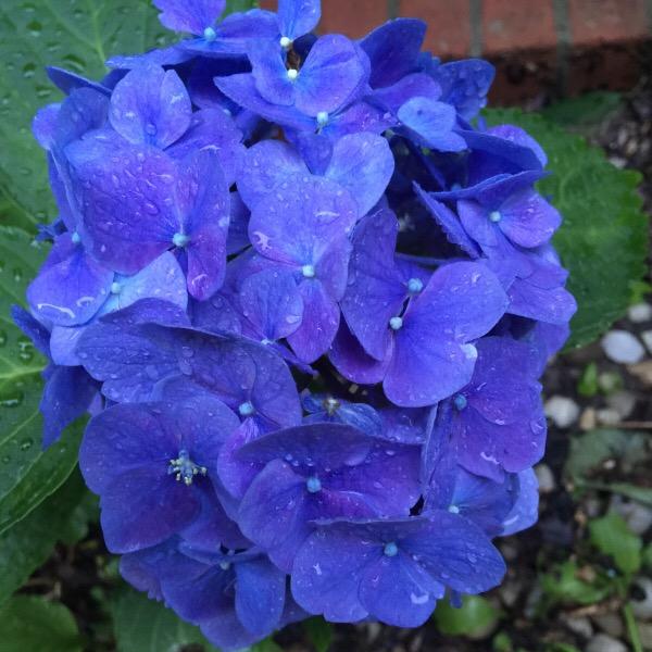 True Blue Flower In Fredericksburg, Virginia