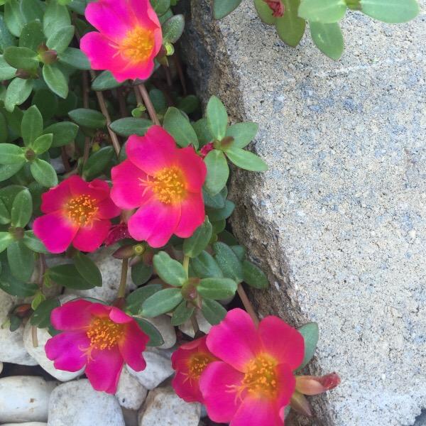 Wild Edible Plants: Purslane (Portulaca Oleracea)   Moss Roses