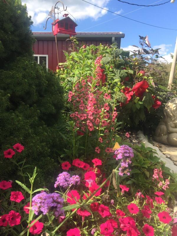Summerifiq Hibiscus   Summer Snapdragons   Supertunias Vista Fuchsia