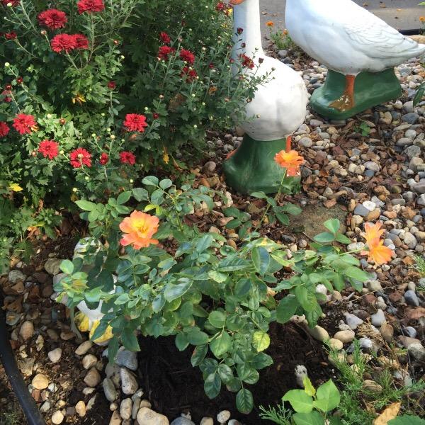 'Livin' Easy' Floribunda Rose Final Fertilization With Hard Wood Mulch Application In September For Winterization Covering