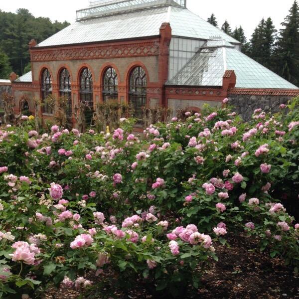 Honorine de Brabant - Bourbon and Hybrid Perpetual Roses - Old ...