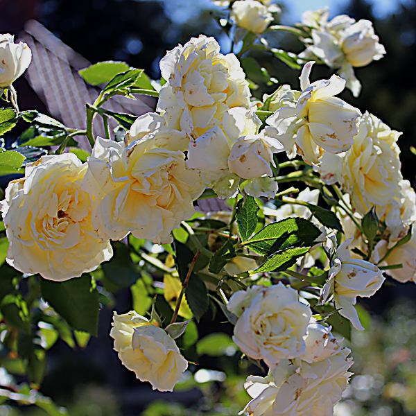 'Polar Express™ Sunbelt®' Rose Arborose® Collection   Single bloom shot taken of winning shrub Sunday, September 26, 2016