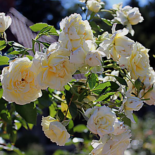 'Polar Express™ Sunbelt®' Rose Arborose® Collection | Single bloom shot taken of winning shrub Sunday, September 26, 2016