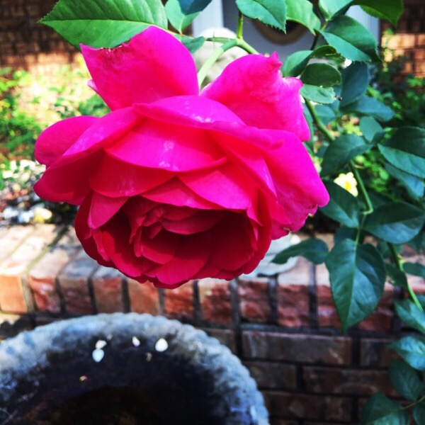 'Pretty Lady Rose' hybrid tea rose