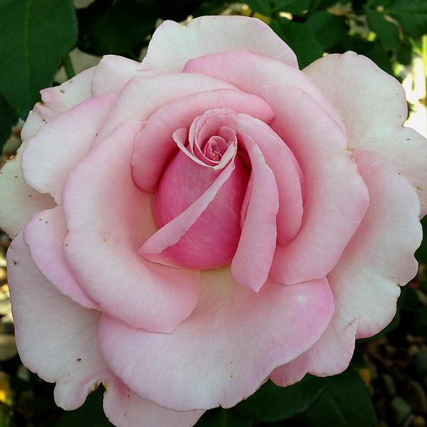 Memorial Day Blooming in the Garden in Illinois