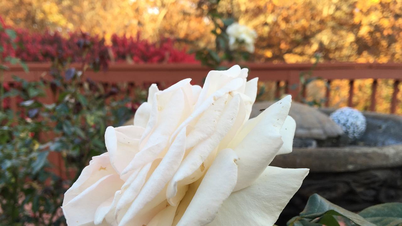 Fall Scene in the Rose Garden