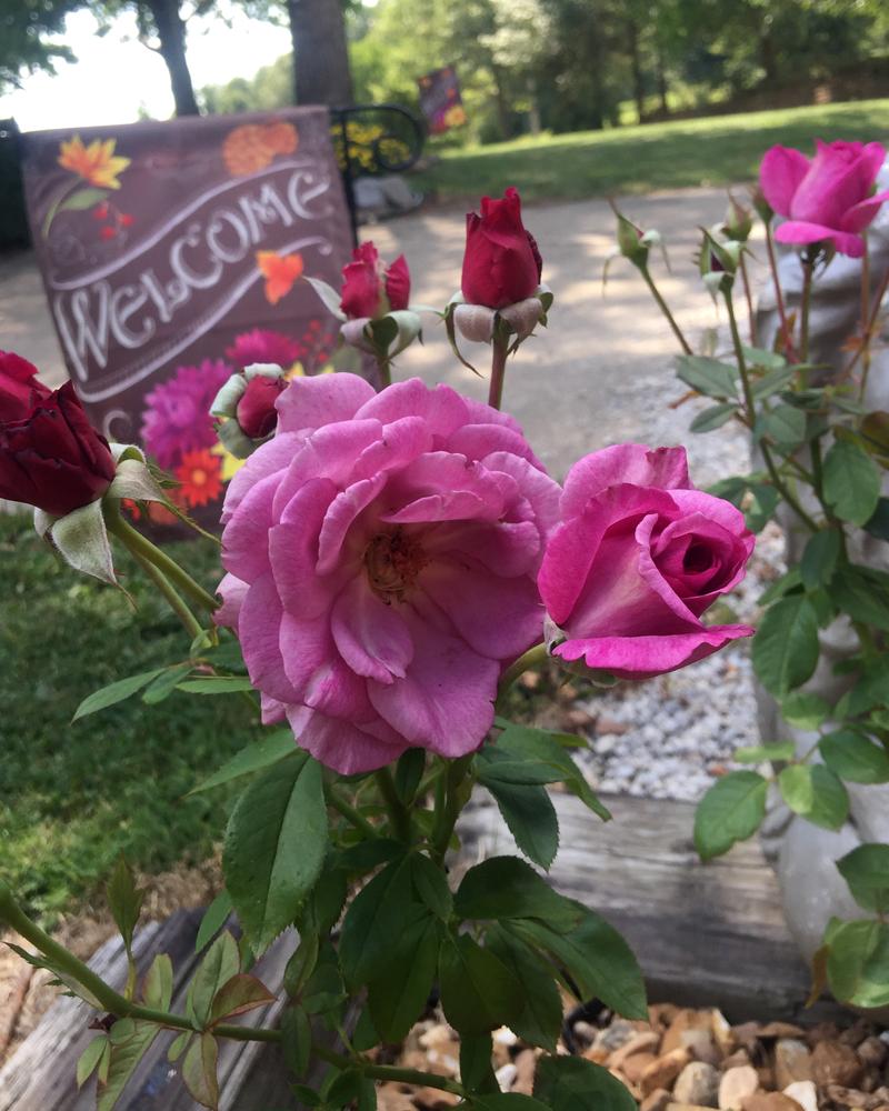 'Sugar Plum' Cascades of Candelabras of Fragrant Plum Roses in Fall