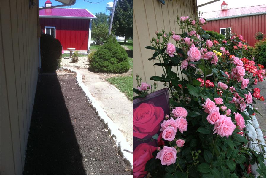 Floribunda Rose Garden   Before and After