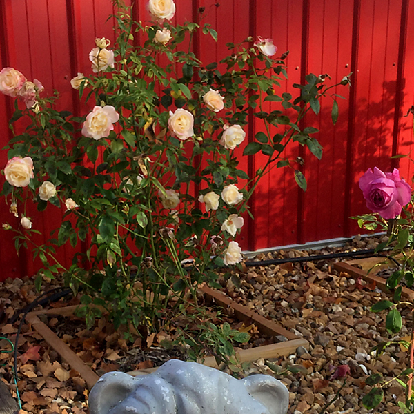 Jackson & Perkins 2019 Hybrid tea in the Fall 10-00454 in the Fall #WordlessWednesday