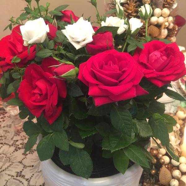 Jackson & Perkins Splendor Rose Duet #MyJPRoses