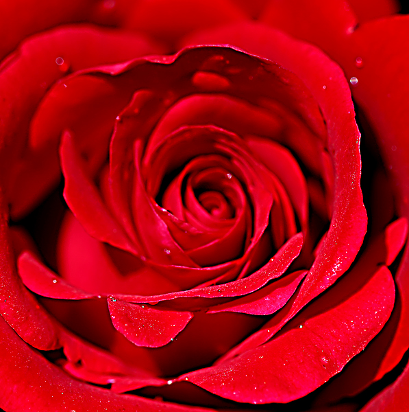 Veterans' Honor Named Jackson & Perkins Rose of The Year in 2000