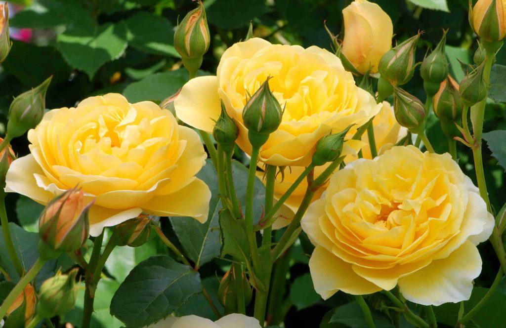 """Graham Thomas' Launched """"Engish Roses"""""""