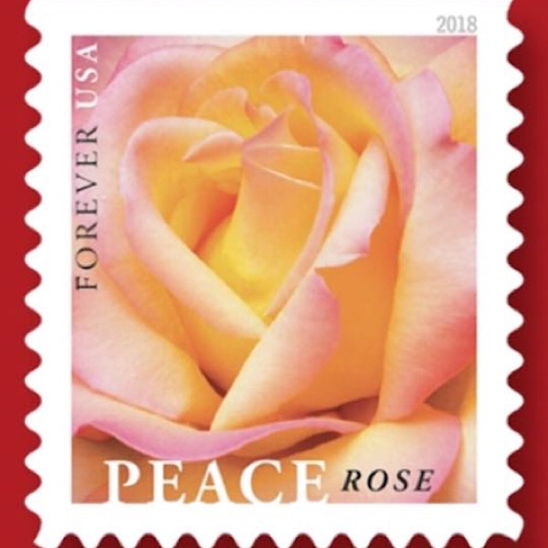 Rich Baer's Photo of the 'Peace' Rose