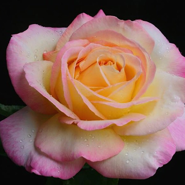 'Peace' The most popular rose in the world | A photo by Mr. Rich Baer