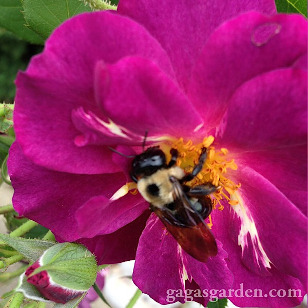 'Stormy Weather' Bloom & A Bumble Bee