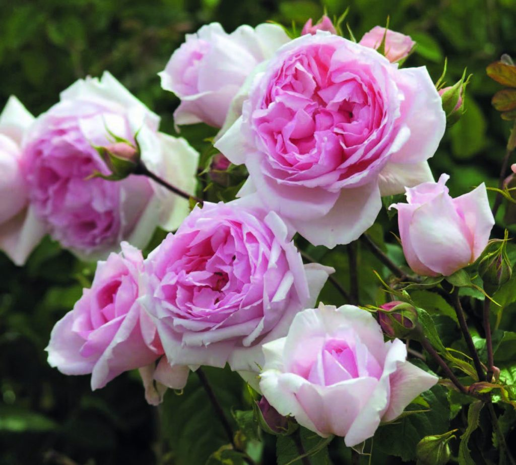 'The Wedgewood Rose'