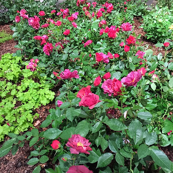 'Cinco de Mayo'   Easy~To~Love Roses by Weeks Roses