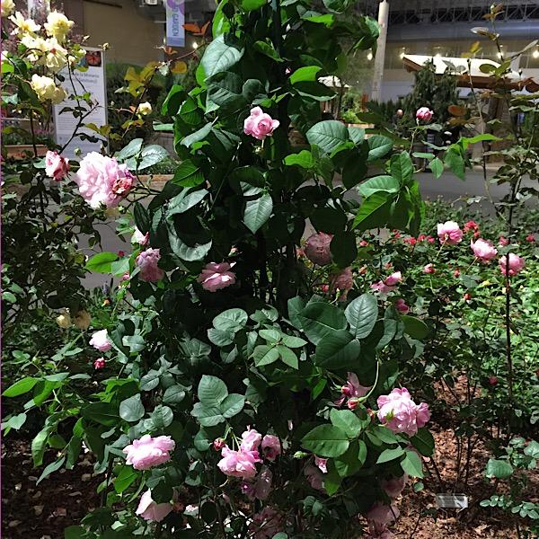 David Austin Rose in Bloom