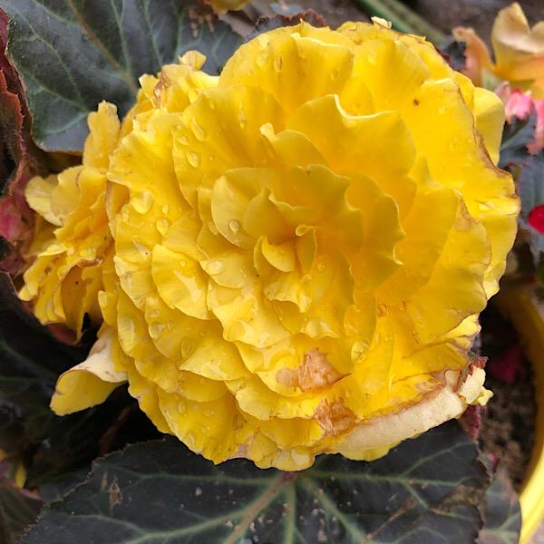Yellow Single Flower Tuberous Begonia