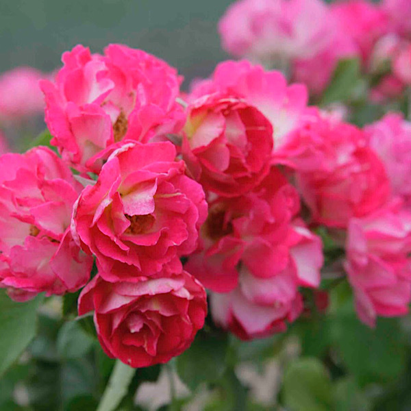 Rosa Cupid's Kisses 'Gilded Age Award' 'Cupid's Kiss' by Christian Bedard 'Best Climber'