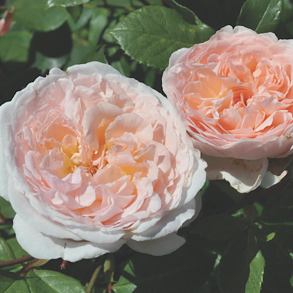'Edith Wharton Award' 'Bliss Parfuma' bred by Kordes Roses' 'Best Floribunda'