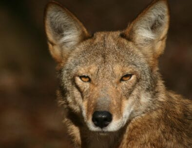 The Land Between The Lakes Woodlands Nature Station Red Wolf