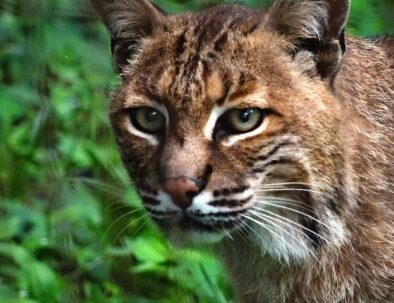 The Land Between The Lakes Woodlands Nature Station Bobcat