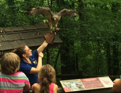 The Land Between The Lakes Woodlands Nature Station Red Tailed Hawk