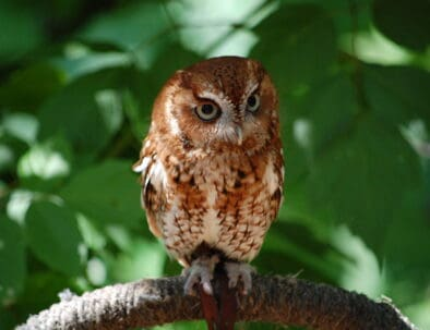 The Land Between The Lakes Woodlands Nature Station Owl
