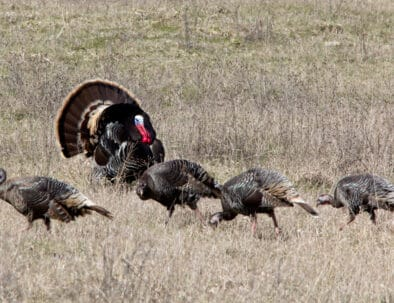 The Land Between The Lakes Hunting Quota Hunt Turkey