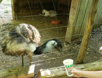 Maggie's Jungle Golf Emu Feeding