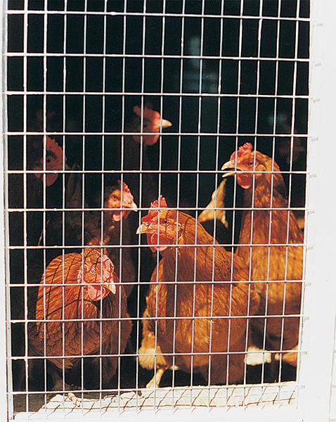 ChickensInCageColor