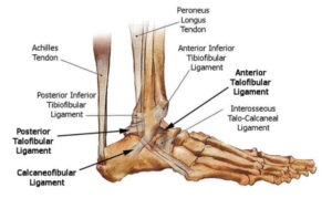 ankle anatomy 300x179 Rehab after an Ankle Sprain