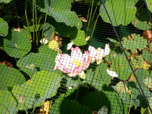 Netted lotus